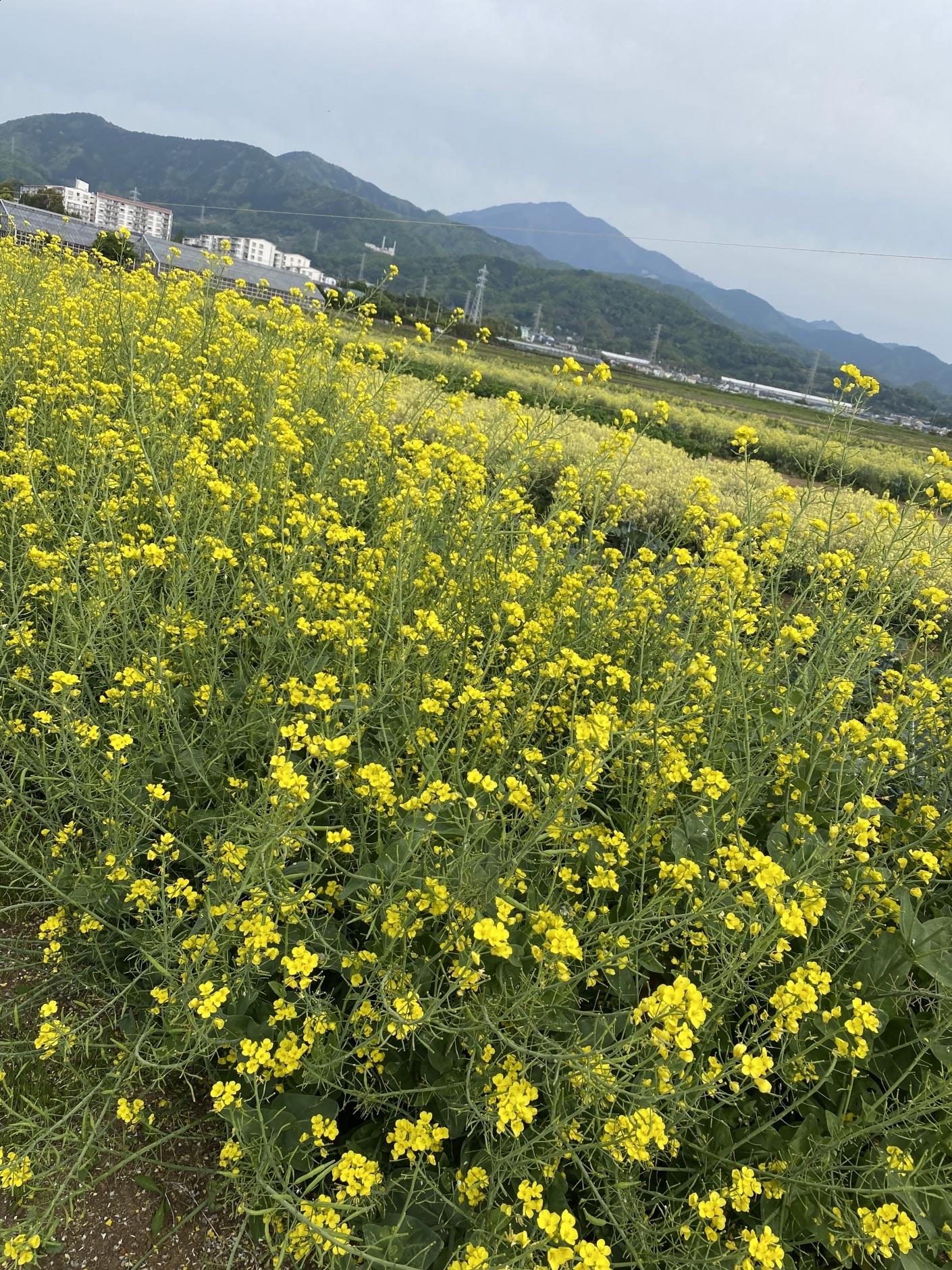 【336】 5月と大山